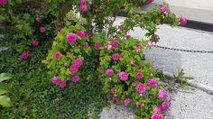 'Mme Isaac Pereire' (Garçon 1881) gehört nicht zufällig zu den beliebtesten Bourbon-Rosen. Sie gilt als der Inbegriff für den starken und exquisiten Duft historischer Rosen. Der Strauch wächst kräftig und sollte entweder an einem Obelisken aufgebunden oder sogar als Kletterrose an einer Wand gezogen werden.