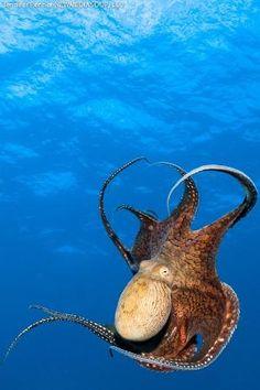 Octopus in deep blue sea ocean