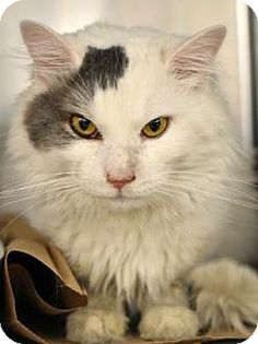 Leroy - URGENT - Animal Care & Control Team of Philadephia in Philadelphia, Pennsylvania - ADOPT OR FOSTER - Adult Neutered Male Domestic Medium Hair