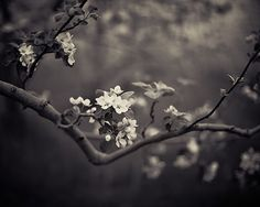 Black and White Nature Photography - Romantic Flowers, Blossoms, Orchard Trees, Wedding Decor, Garden, Mysterious - Pearl and Umbra