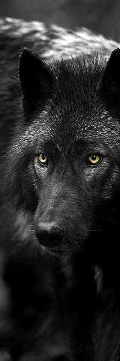 The Black Wolf is a melanistic colour variant of the grey wolf (Canis lupus).  Genetic research has shown that wolves with black pelts owe their distinctive coloration to a mutation which occurred in domestic dogs, and was carried to wolves through wolf-dog hybridisation.  //Such a beauty EL//