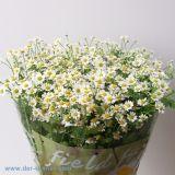 Matricaria weiß - Kamille - 25 Stück