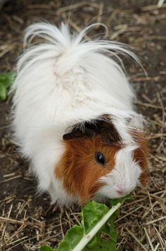 Gorgeous, Longhaired Guinea Pig