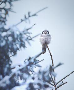 Wildlife Finland: Wild Gray Wolfs, Wolverine and Birds by Niko Pekonen #art #photography #Wildlife Photography