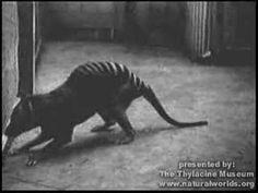 Animal Extinto: Tigre de Tazmania