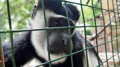 Прогуливаясь в зоопарке в поисках новых интересных сюжетов, я увидел эту грустную обезьяну (колобус).Подойдя к вольеру меня заинтересовала  куда она смотрит. Она смотрела в ту часть зоопарка где растут большие деревья и резвятся воробьи. И мне стало понятно о чем она думает, о свободе.