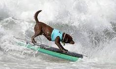 Kono, from Brazil, rides a wave at the Surf City Surf Dog Competition in Huntington Beach, California, in Rex/Shutterstock Surf Competition, Dog Competitions, Surfer Dude, Surf City, Huntington Beach, Dogs Of The World, Love Pictures, Mans Best Friend, Dog Lovers