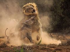 amazing photo of lion vs bush pig!!!