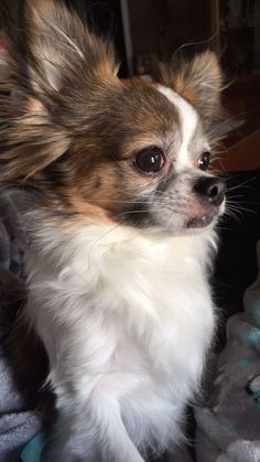 Effective Potty Training Chihuahua Consistency Is Key Ideas. Brilliant Potty Training Chihuahua Consistency Is Key Ideas. Chihuahua Puppies For Sale, Chihuahua Love, Cute Puppies, Dogs And Puppies, Cute Dogs, Doggies, Akita Dog, Long Haired Chihuahua, Cute Animals