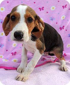 treeing walker couonhound photo   Treeing Walker Coonhound Mix Puppy for Sale in Hammond, Louisiana ...