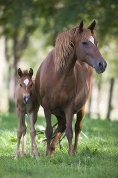 Photographic Print: Peruvian Paso Colt with Quarter Horse Broodmare by DLILLC : 24x16in