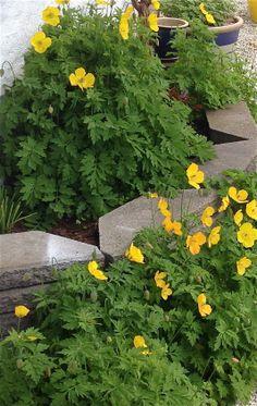 """Skogvalmue - sprer seg veldig - vokser """"overalt"""" om du lar den få lov :) Meconopsis cambrica - will grow everywhere - if you allow :) 17.5.14 /IJ"""
