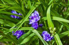 Kerti Tradeszkancia (Tradescantia x andersoniana) Garden, Flowers, Plants, Terrace, Balcony, Garten, Patio, Lawn And Garden, Gardens