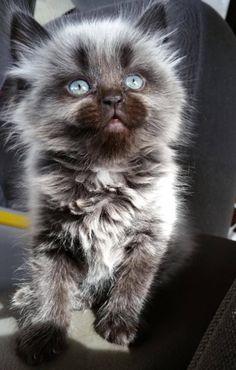 werewolf Kitty