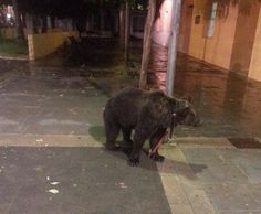 """Dancing Bear Left Tied to Lamp Post in Hailstorm as """"Trainer"""" Drank in Bar: Spanish animal rights group FAADA condemn bear trainer in Càrcer, Valencia, for cruelty."""
