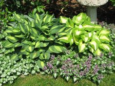 hosta interplanted with Lamium