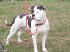 American Bulldog.I like this one. Easy to train. Intelligent, protective, eager to learn and please. But that is this breed in general! Great dogs.