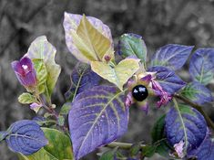 Belladonna (Atropa Belladonna) (Deadly Nightshade) by Plbmak, via Flickr