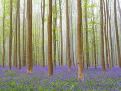 This beech forest in Belgium becomes a misty dreamscape during springtime, as thousands of bluebells... - Getty