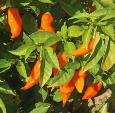 """new low-heat habanero, the """"habanana"""", developed by Cornell breeder, now available to growers. Two transplants will ship May 11. 500-800 ft isolation to save true seed."""