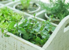 Passo a passo – como plantar salsinha? A moda das hortinhas caseiras está se espalhando pelo Mundo afora e cada vez mais as pessoas estão desejando