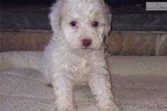 Meet orange and white a cute Lagotto Romagnolo puppy for sale for $2,200. Valentina