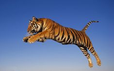 Bengal tiger ( Panthera tigris tigris) is an Indian native tiger. It is the most abundant of all tiger species with more than in the wild. Wallpaper Für Desktop, Tiger Wallpaper, Animal Wallpaper, Desktop Backgrounds, Hd Desktop, Wallpapers, Bengalischer Tiger, Wild Tiger, Bengal Tiger