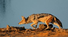 Black-backed jackal stalking, by a waterhole in Etosha. Kruger National Park, National Parks, Black Backed Jackal, Game Reserve, African Safari, Africa Travel, Mammals, Cute Animals, Wildlife