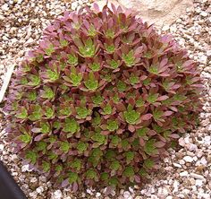 Aeonium x 'Cornish Tribute' A compact, low growing hybrid, bred at Trewidden Nursery, that forms a mound of many small light red rosettes with green centres. The lanceolate leaves have ciliate margins.