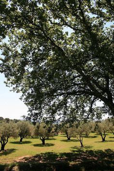 Provence olive trees | CatChanel