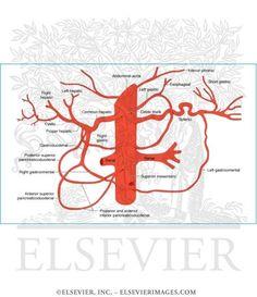 Celiac Trunk - arterial supply Pharmacy School, Medical School, Celiac Artery, Medicine Pictures, Abdominal Aorta, Interventional Radiology, Nursing Notes, Science Biology, Study Help