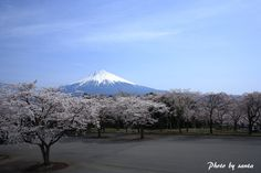 Mt. Fuji Cherry Blossom 富士山 桜