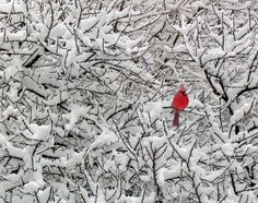 Cardinal on snow covered branches