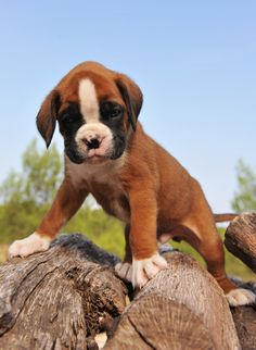 Adventurous Boxer Puppy