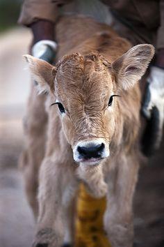 La vacca podolica kalf