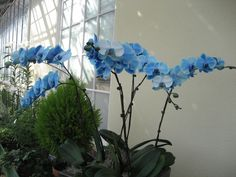 Blue orchids. I will own one.