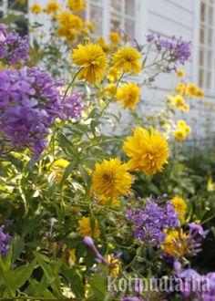 Kultapallo. Korkeus: 250 cm. Kukkii elo–syyskuussa (lokakuussa).  Kasvupaikka aurinko, tuore, runsasravinteinen ja syvämultainen maa.