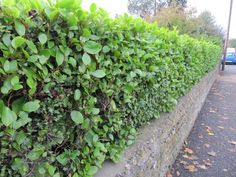 Noise Blocking Plants - The most visually appealing way to block noise is with a dense growth of plants. Noise blocking plants are especially useful in urban areas. Learn more in this article and block out those annoying sounds. Privacy Landscaping, Backyard Privacy, Front Yard Landscaping, Landscaping Ideas, Side Garden, Lawn And Garden, Outdoor Plants, Outdoor Gardens, Outdoor Spaces