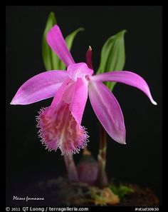 Pleione formosana1. A species orchid (color)