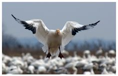 SHOW ME SNOW GEESE is a world class Missouri-based waterfowl, duck and snow goose hunting service known for its veteran guides and ideal hunting location.