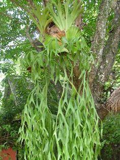 Siam Exotica Plants of Platycerium coronarium