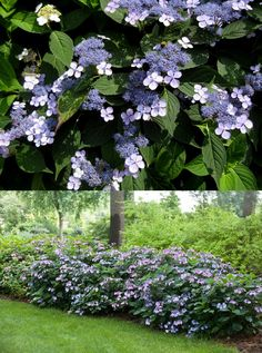Hydrangea serrata (Hortensia japonais)