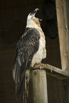 Bearded Vulture (Gypaetus barbatus) by PKM Photos on Flickr.