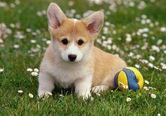 corgi-puppy.jpg (500×350)