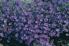 Pase Seeds - Brachycome Bravo Series Deep Blue-black Eye Annual Seeds, $3.29 (http://www.paseseeds.com/brachycome-bravo-series-deep-blue-black-eye-annual-seeds/)
