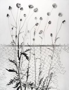 At the Edge by Joan Wadleigh Curran, charcoal flower drawing on paper, 50 x 38, 2009.