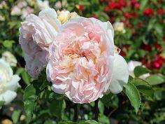 Englische Rose Evelyn ® Aussaucer ® Züchter David Austin 1991