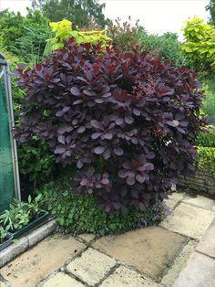 Succulent Gardening, Garden Plants, Farm Gardens, Outdoor Gardens, Purple Shrubs, Glamping, Garden Gadgets, Woodland Plants, Trees And Shrubs