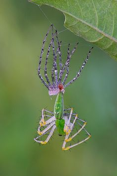 green lynx spider molting
