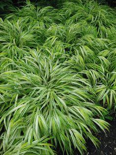 Hakonchloa macra - Hakone grass (Japanese forest grass) 'Aureola' clumping groundcover. Striking in mass.
